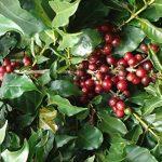 Café en grain bio 2 X 1 kg Cafe grain bio arabica.Cafe en Grain organiques de haute qualité de torréfaction naturelle. Grain bio equitable . Café grain arabica cultivé avec l'agriculture biologique et processus rigoureux- Excellent arôme 2kg X 1 kg de la image 2 produit