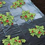 Film de paillage spécial fraises - 1,40x20m de la marque Générique image 1 produit