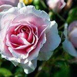 grogreen® Feed & Shine roses 500ml concentré, bouteille de la marque GroGreen image 2 produit