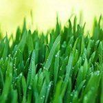 Herbe de blé (Agropyre) Bio en Poudre - 500g (Certifiée Biologique) de la marque Indigo-Herbs-of-Glastonbury image 4 produit