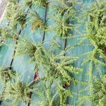 mauvaises herbes rampantes TOP 6 image 2 produit