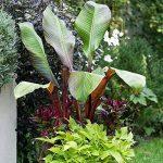 Musa maurelii - Bananier rouge - Ensète d'Abyssinie de la marque mesarbustes image 2 produit