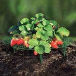 OSE Support fraisier - Lot de 5 - Vert de la marque OSE image 2 produit