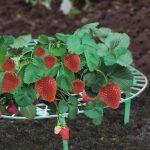 OSE Support fraisier - Lot de 5 - Vert de la marque OSE image 3 produit