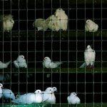 Tenax 72100149 Cintoflex M Filet pour Oiseaux/Perroquets Plastique Noir 1000 x 100 cm de la marque Tenax image 3 produit