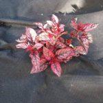 Tissu anti mauvaises herbes rouleaux–Plié 2m x 100m 50g/m² (a591) de la marque scot plants direct image 2 produit