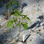 Toile de paillage Herbi'Chanvre - 56cm de largeur en 5m - 100% Chanvre Biodégradable 100% Français - Idéal pour le paillage des Tomates de la marque Herbi'Chanvre - Géochanvre image 2 produit