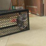 WARKHOME Piège à Souris,Piège de capture Pour Animaux 24× 11.5 × 11.5cm - Piège à Rats Professionnel Pour Attraper Les Souris, Les Rats, Les Mulots et Les Loirs de la marque WARKHOME image 3 produit