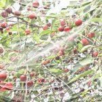 Windhager Filet anti mouche Suzukii protection contre les insectes et les oiseaux pour arbres fruitiers, blanc, 4x 5m, 06778 de la marque Windhager image 2 produit